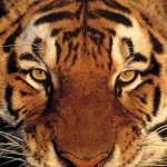 La mirada del tigre del emprendedor